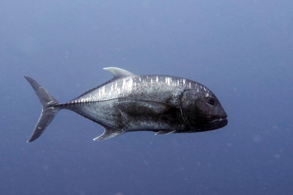 Giant black trevally, Palau.