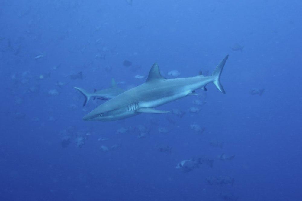 Grey reef sharks Palau
