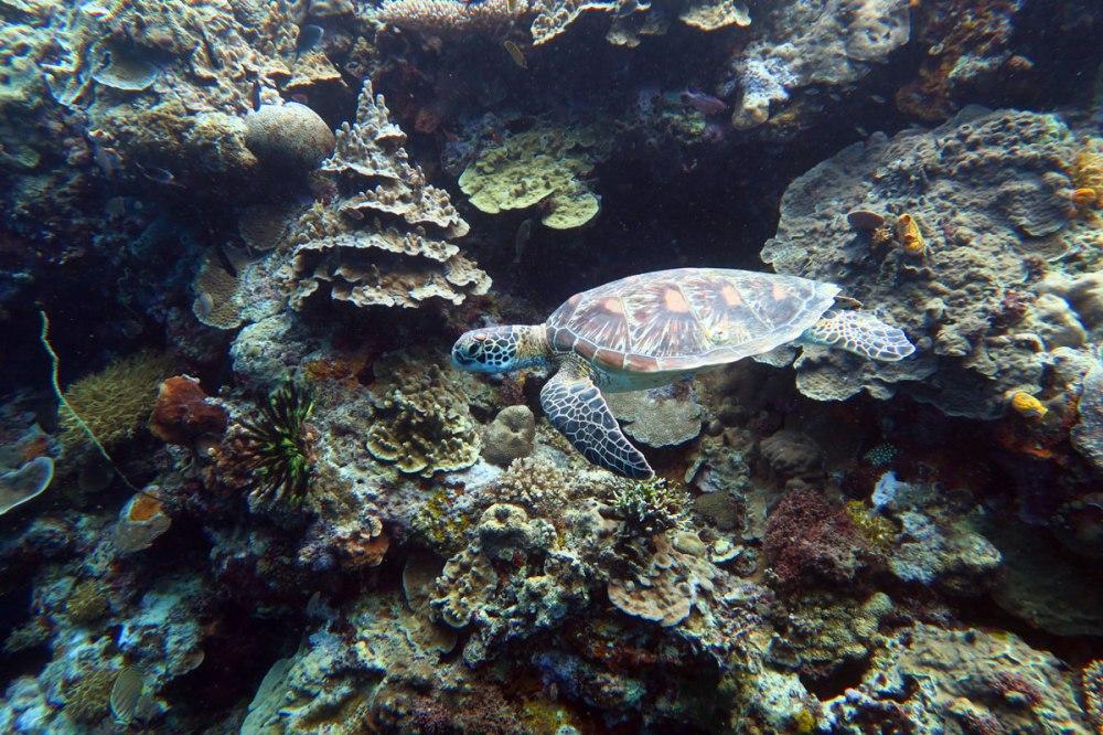 Green turtle diving destination