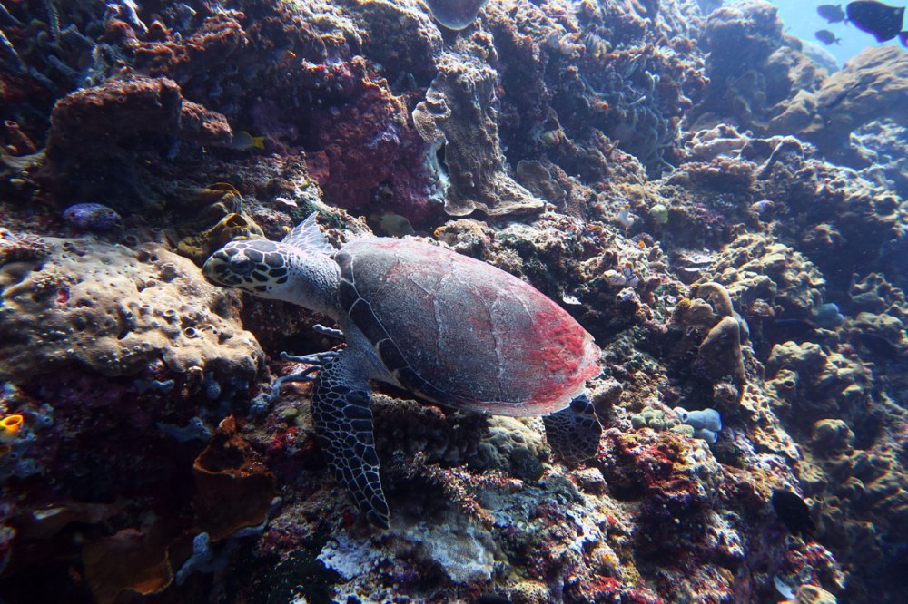Hawksbill turtle is critically endangered species.