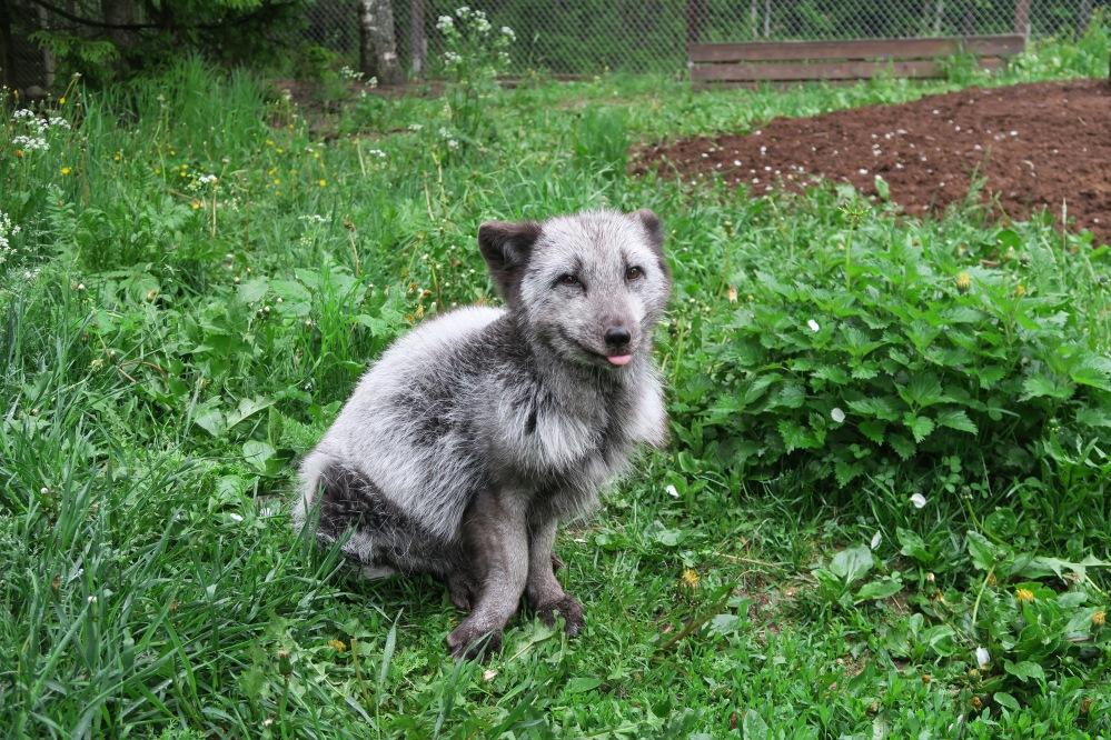 Rescued fox in Tuulispaa